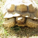 The most famous of the backyard denizens is CV, an African Spurred (Sulcata) tortoise named for his previous caretakers, Carolyn and Vick Knight.