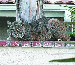 Same month ( May 2015) , this bobcat was sighted in the area of Windward Dr. and Skipjack Dr.
