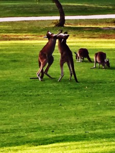 "During a round of golf, Tracy had to wait while kangaroos ""boxed"" in the middle of the fairway."