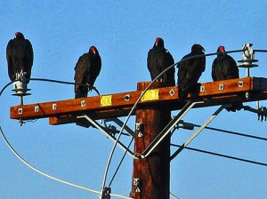 F1-PIC-3-Turkey-vultures-by-LF