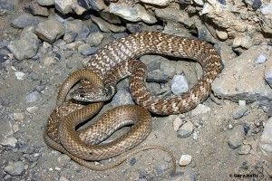 The non-venomous Red Racer or Coachwhip is slender-bodied with a thin tail.
