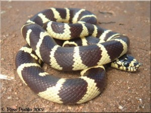 The King Snake is also non-venomous. It rarely bites humans and should be left alone, especially since it hunts Rattlesnakes.