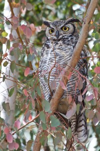 F2-PIC-2-adult-owl-by-LK