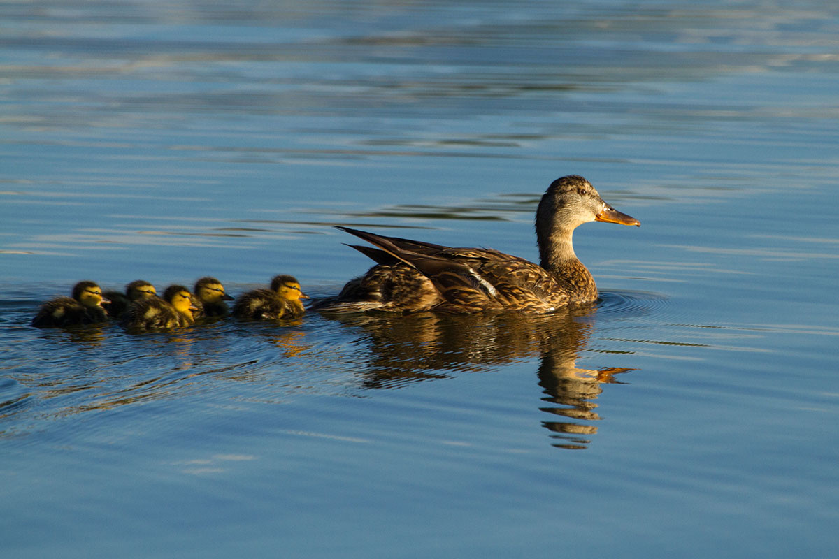 A family of ducks makes its way across the lake.