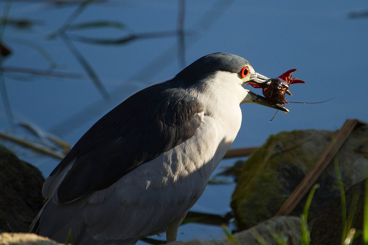This Night Heron feasts on a crawdad