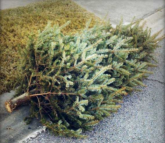 crr will pick up christmas trees curbside for two weeks following christmas stands and ornaments must be removed and trees over six feet must be cut in - What To Do With Old Christmas Trees